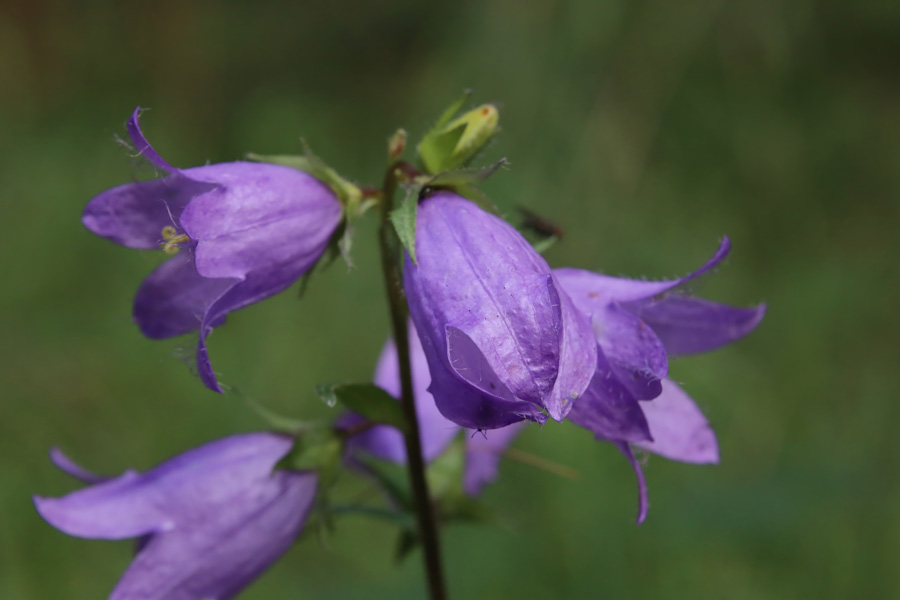 seedball-flower-Bellflower