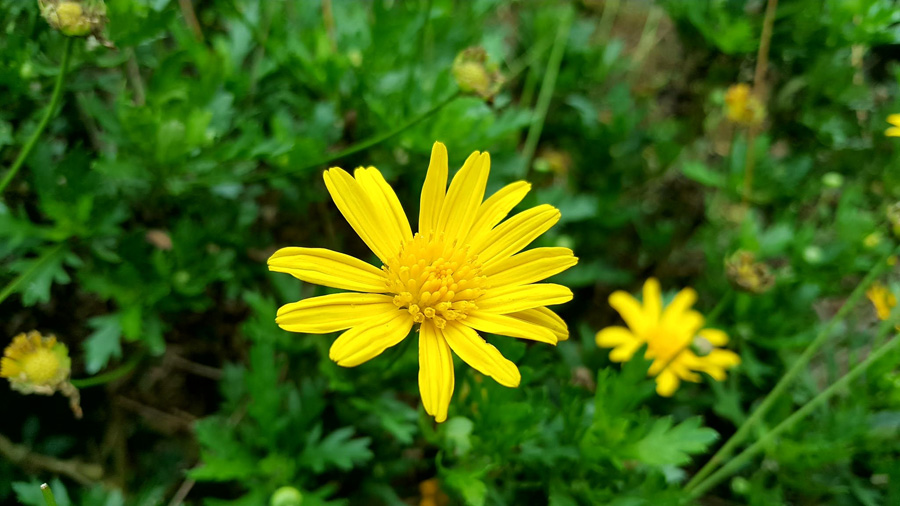 seedball-flower-Corn_marigold