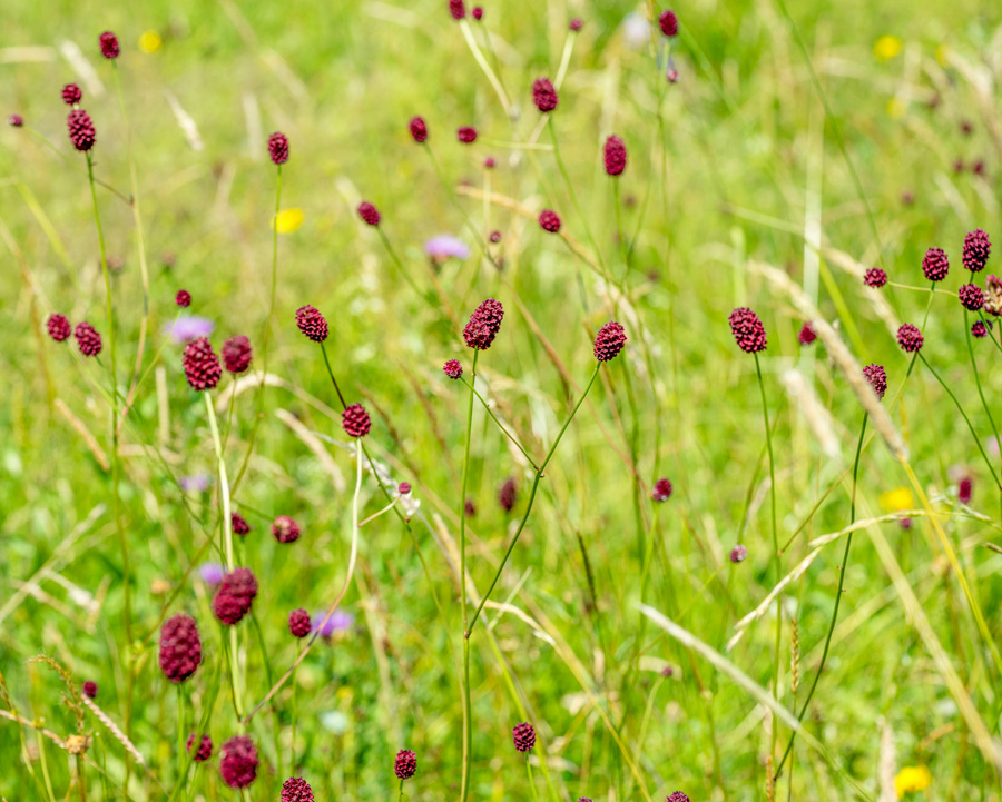 seedball-flower-Great_Burnet