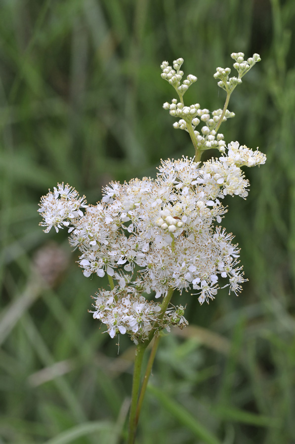 seedball-flower-Meadowsweet-02