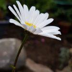 seedball-flower-oxeye_daisy-02