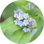 seedball-flowers-_0000s_0031_forget-me-not