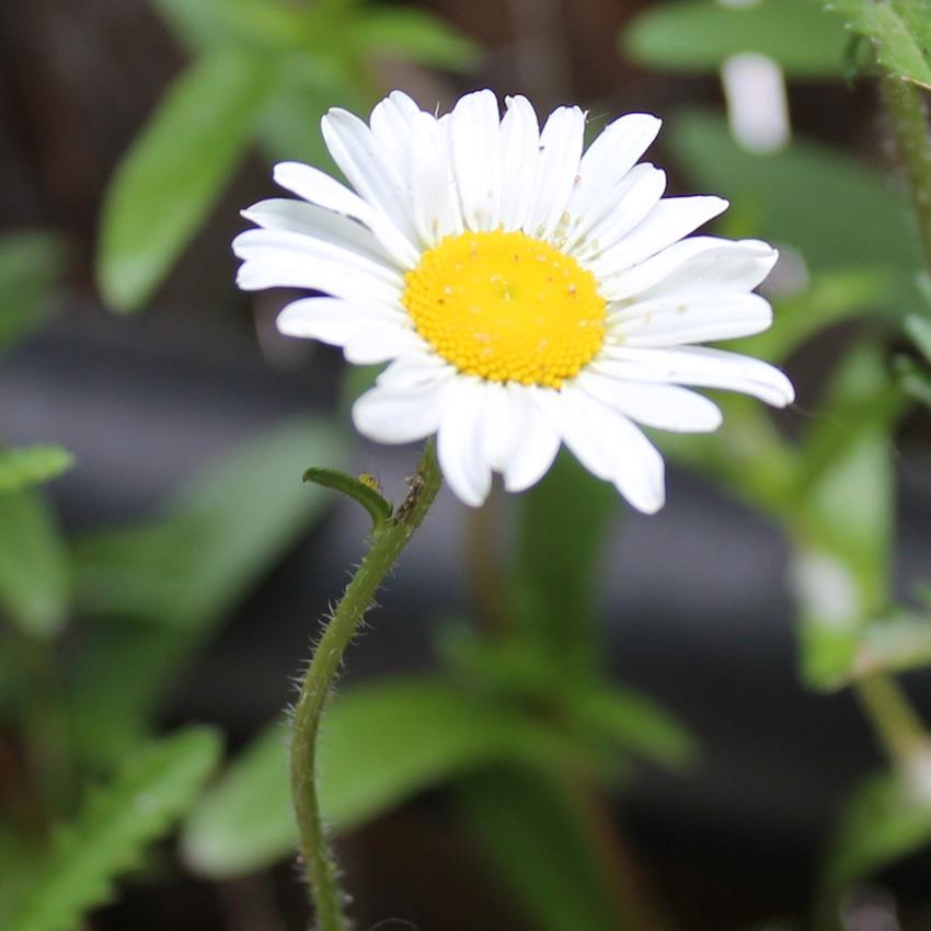 seedball_seedling_guide_Oxeye daisy 3