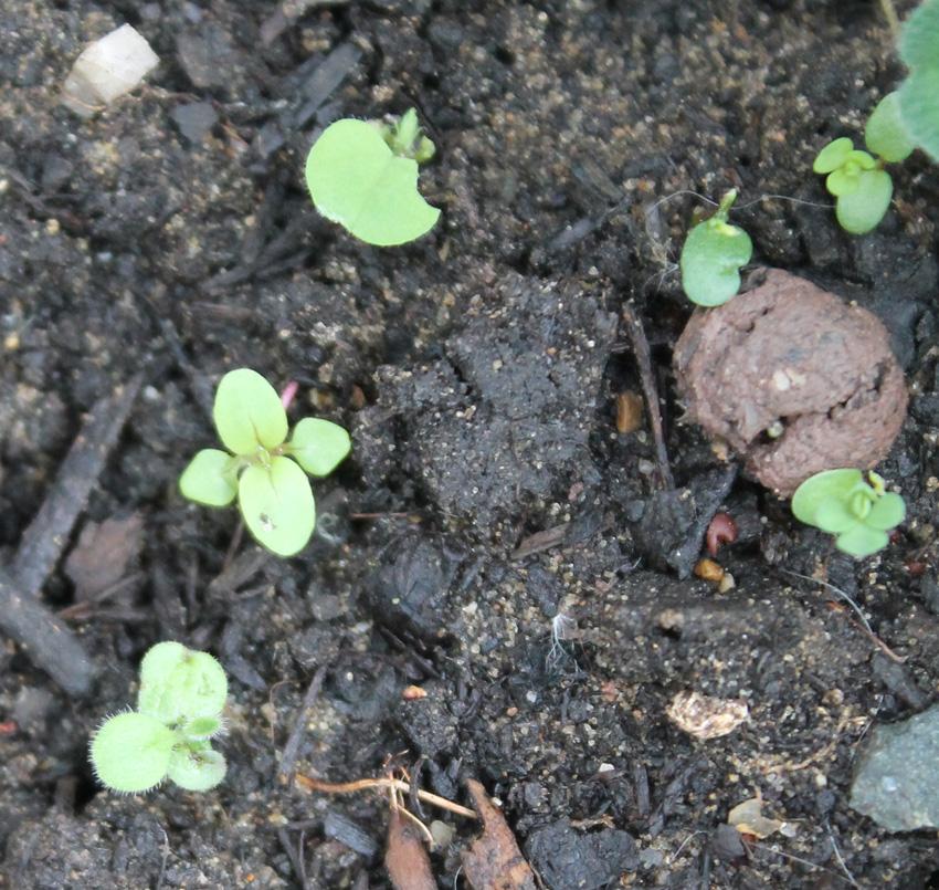 seedball_seedling_guide_Wild marjoram 1