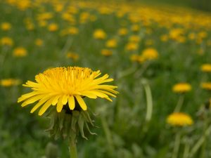 Common Dandelion - Photo by Ryan Hodnett