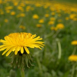 Common Dandelion - Photo by Ryan Hodnett