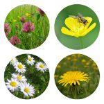 Wildflower Lawn Mix