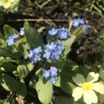 Seedball Forget Me Not
