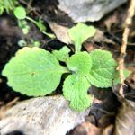 Seedball Plant