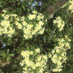 Seedball Primrose