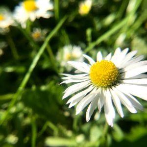 Seedball Common Daisy