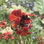 Seedball Wallflower