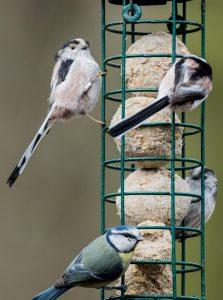 bird feeder, tit bird, wild bird