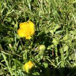 Seedball Meadow Buttercup