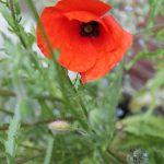 Seedball Common Poppy