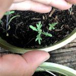 Seedball Corn Marigold