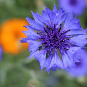 Seedball Cornflower