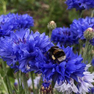 Seedball Cornflower with Bee