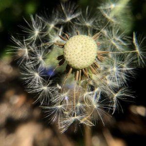 Seedball Dandelion