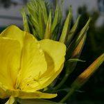 Seedball Evening Primrose