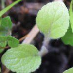 Seedball Foxglove Seedling