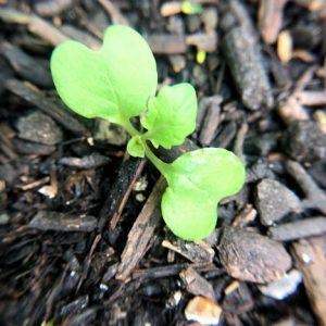 Seedball Meadow Cranesbill