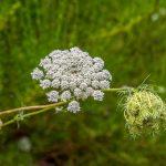 Seedball Wild Carrot