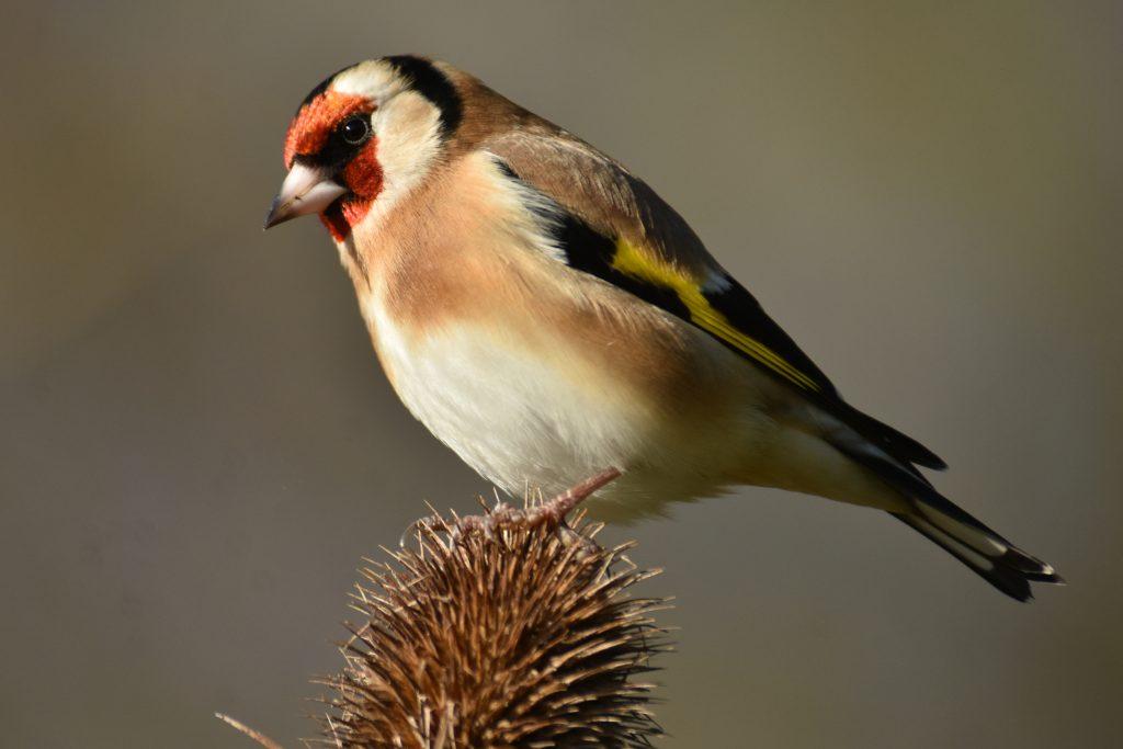 seedball-wildflowers_for_birds_goldfinch-08