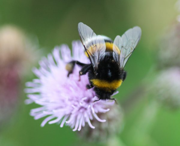 Closeup,Of,Bombus,Terrestris,,The,Buff,Tailed,Bumblebee,Or,Large