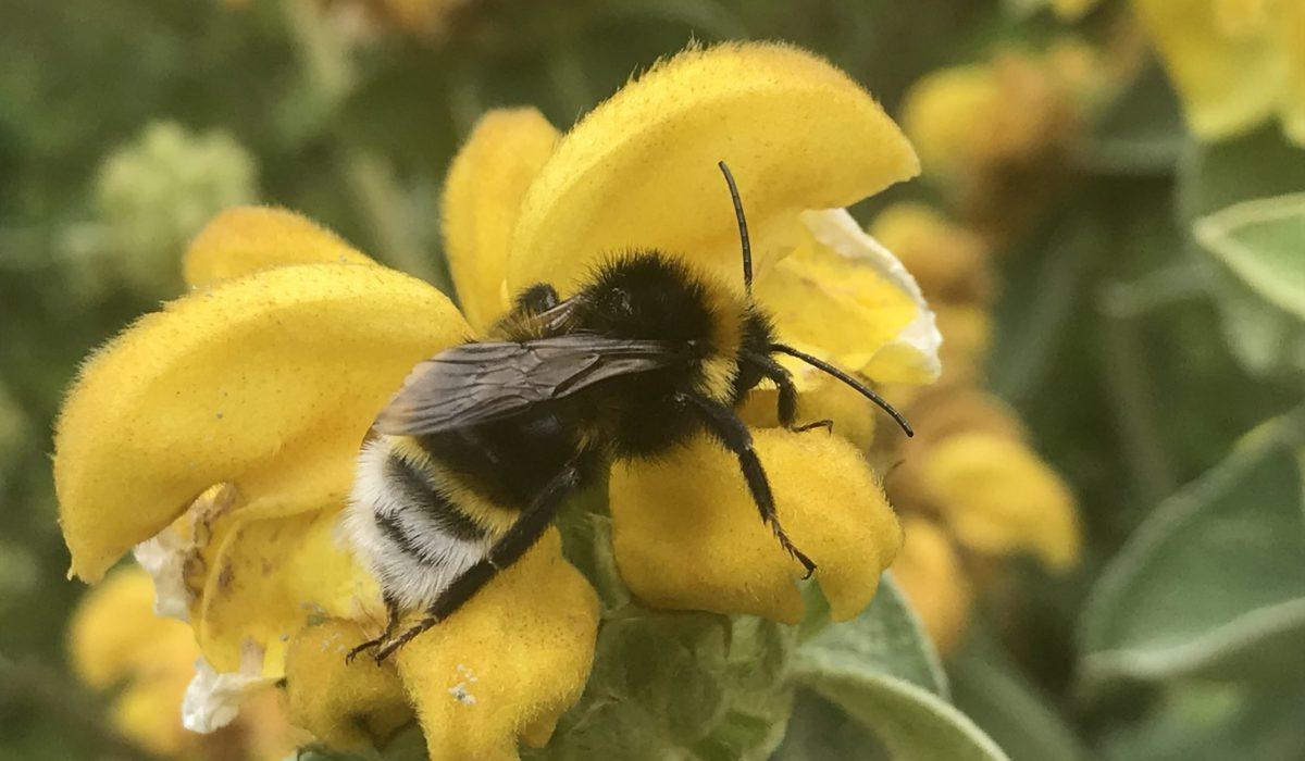 Bombus Vestalis Male Cucko Bee on Wildflower