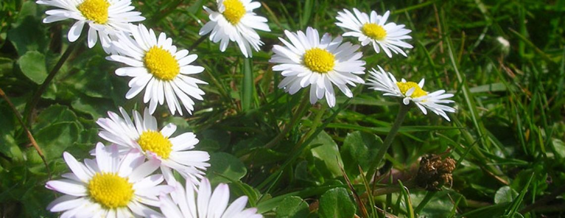 Common Daisy - Photo by Michael Spiller