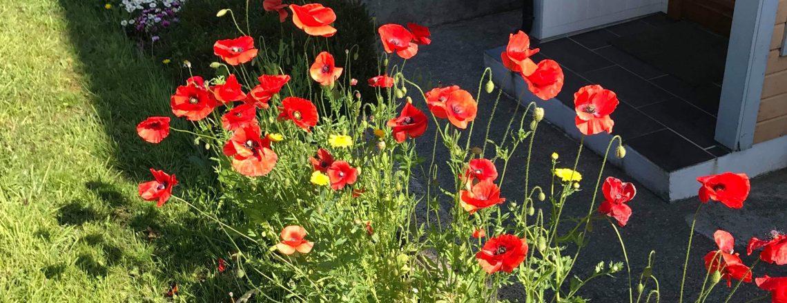 poppies English gardener