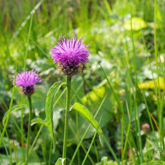 seedball-flower-Common_Knapweed