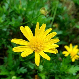 seedball-flower-Corn_marigold