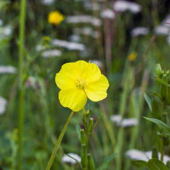 seedball-flower-Primrose