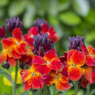 seedball-flower-Wallflower