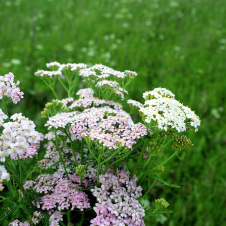 seedball-flower-Yarrow-01