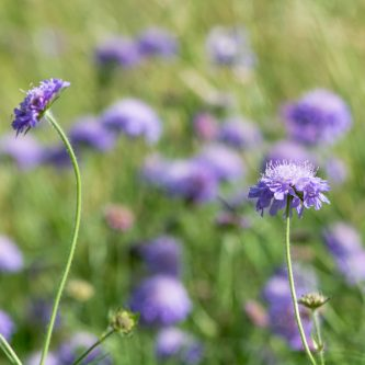 seedball-flower-field_Scabius