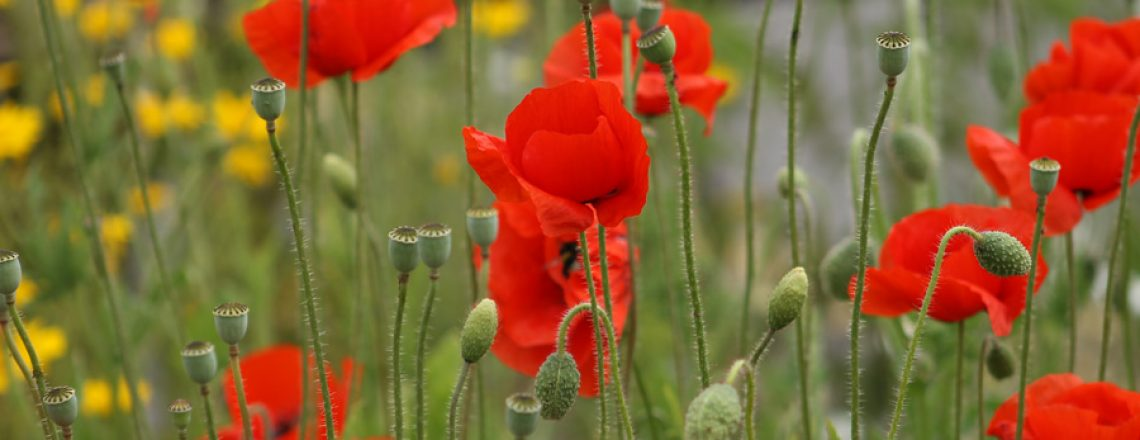seedball-flower-poppy-01