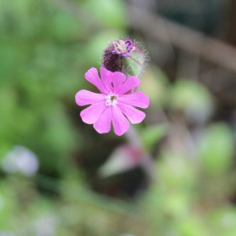 seedball-flower-red_campion