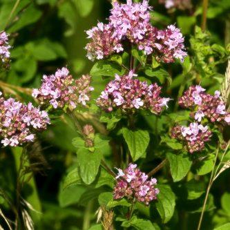 seedball-flower-wildmarjoram
