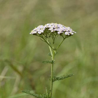seedball_seedling_guide_Yarrow 3