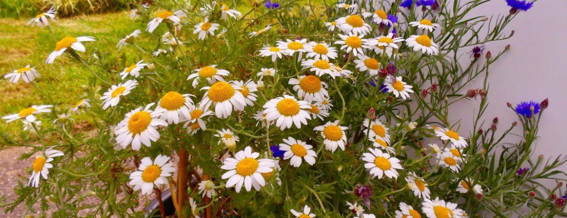 seedball_seedling_guide_oxeye_daisy_04